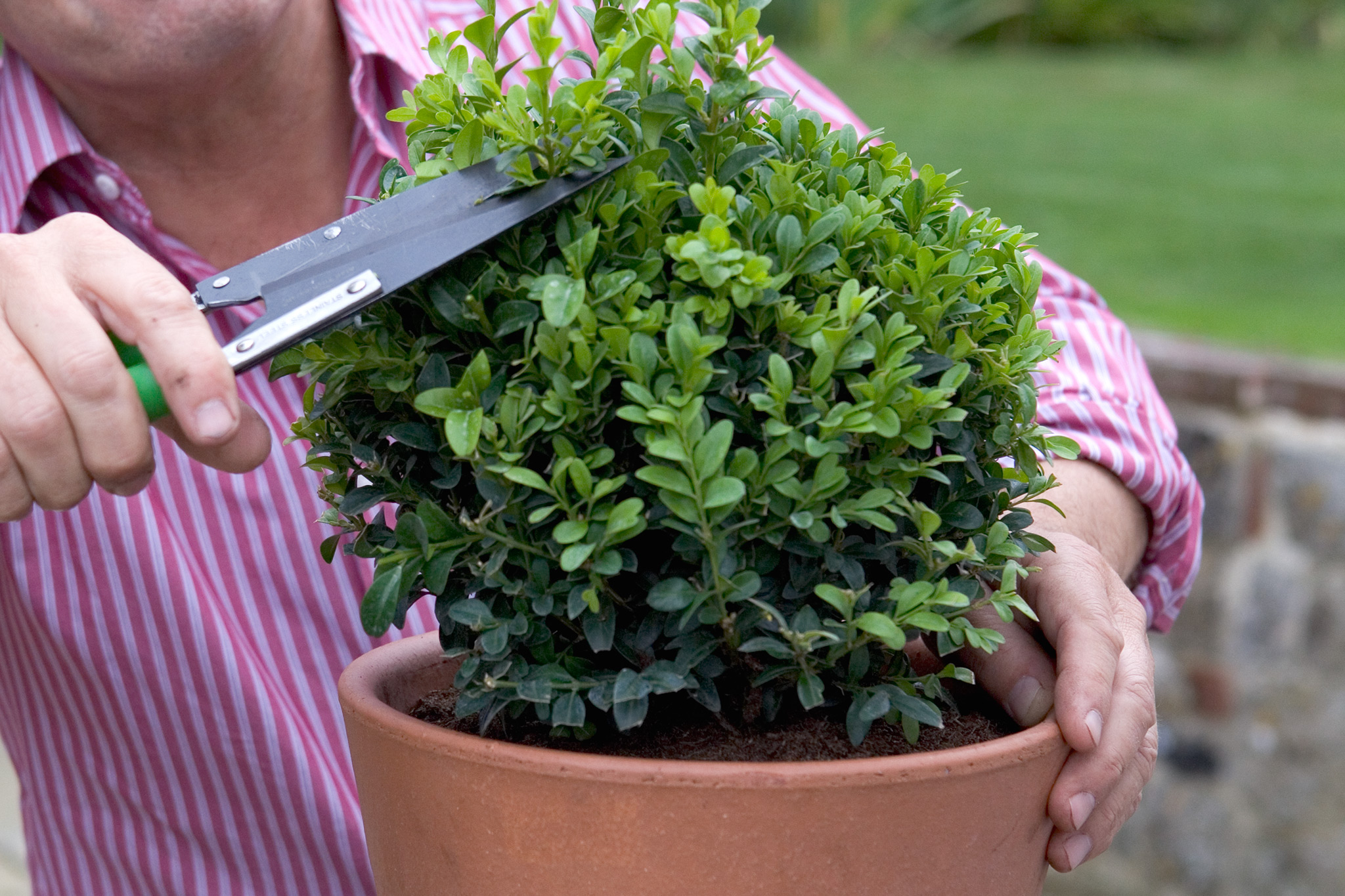 clipping-a-young-box-plant-3