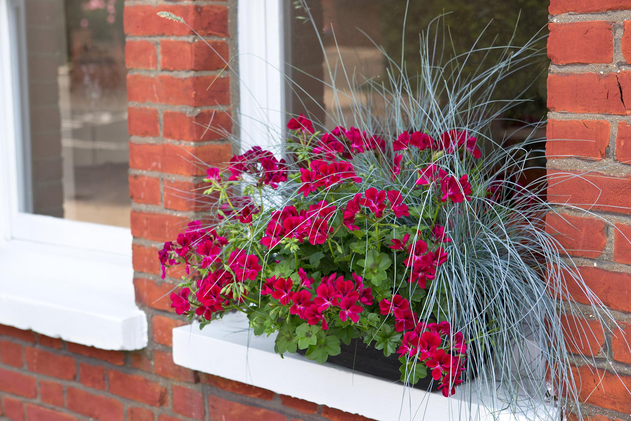 pelargonium-and-festuca-window-box-2