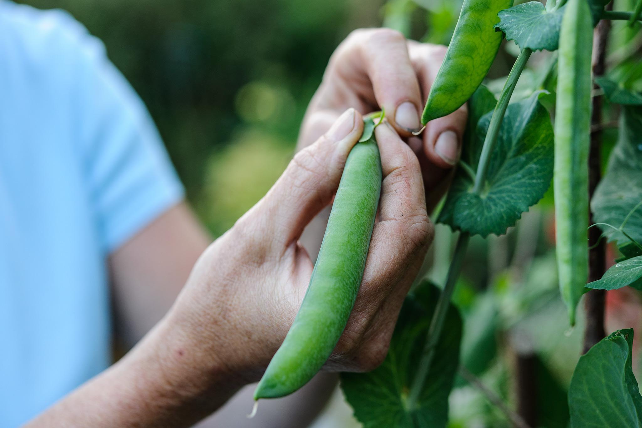harvesting-peas-4