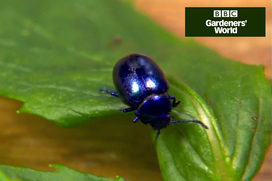 How to tackle blue mint beetle video