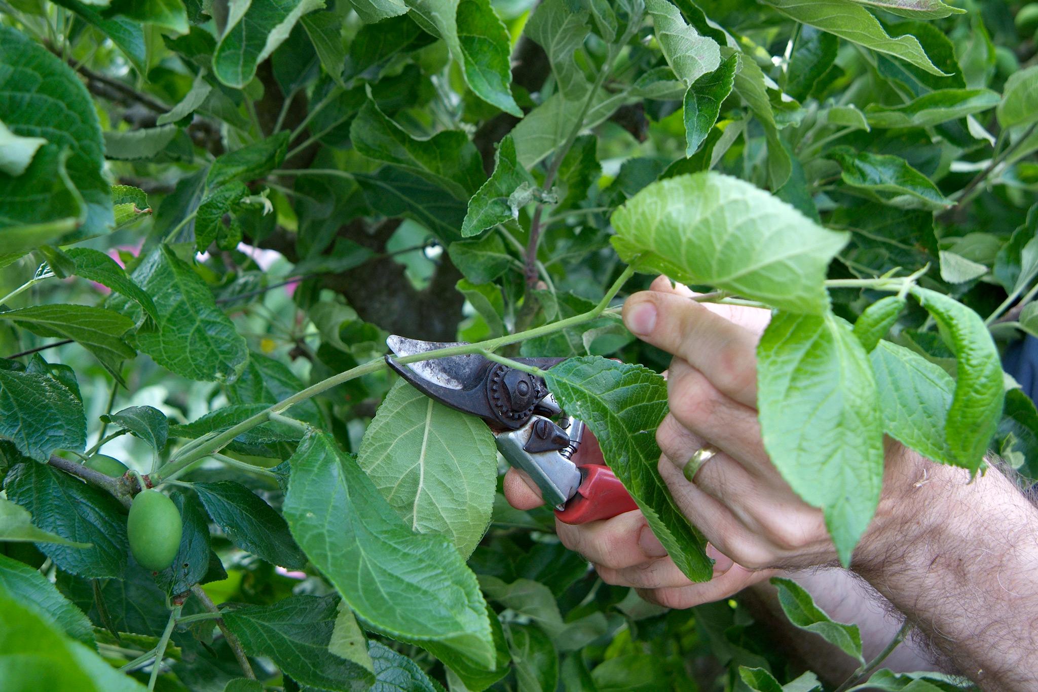 pruning-to-avoid-disease-2