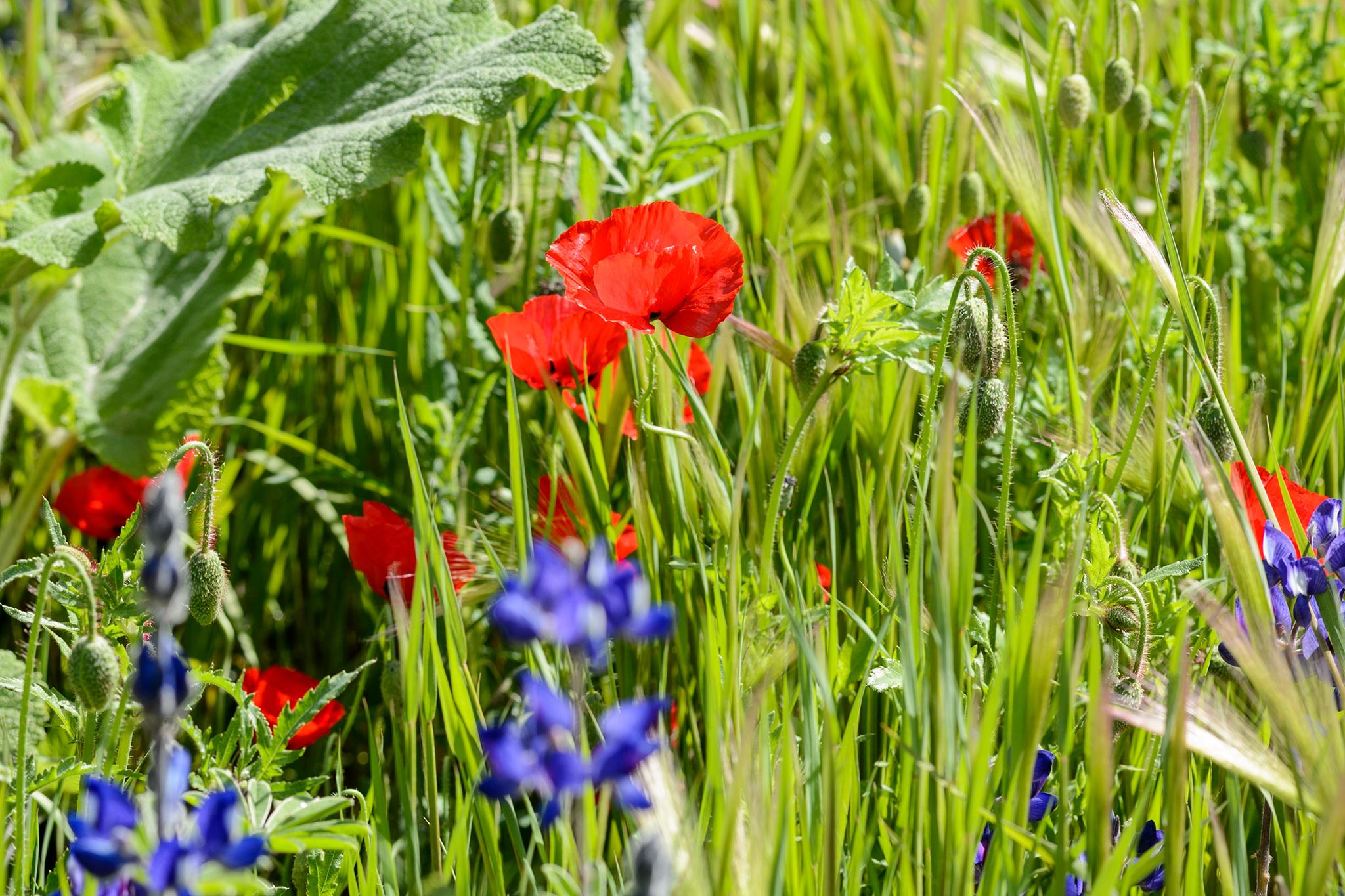 field-poppy-papaver-rhoeas-2