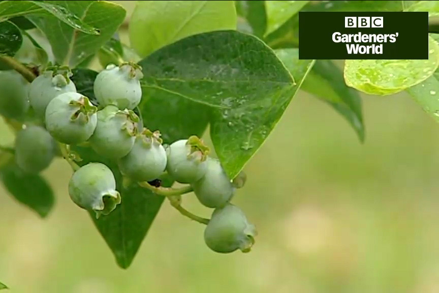 How to grow blueberries and cranberries video