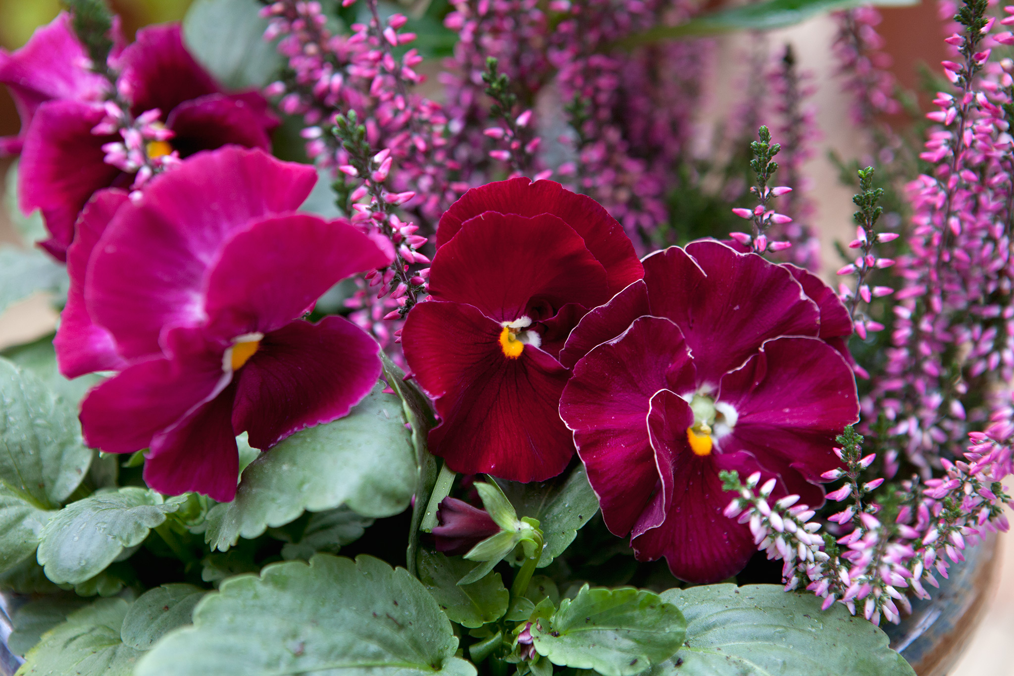winter-flowering-pansy-2