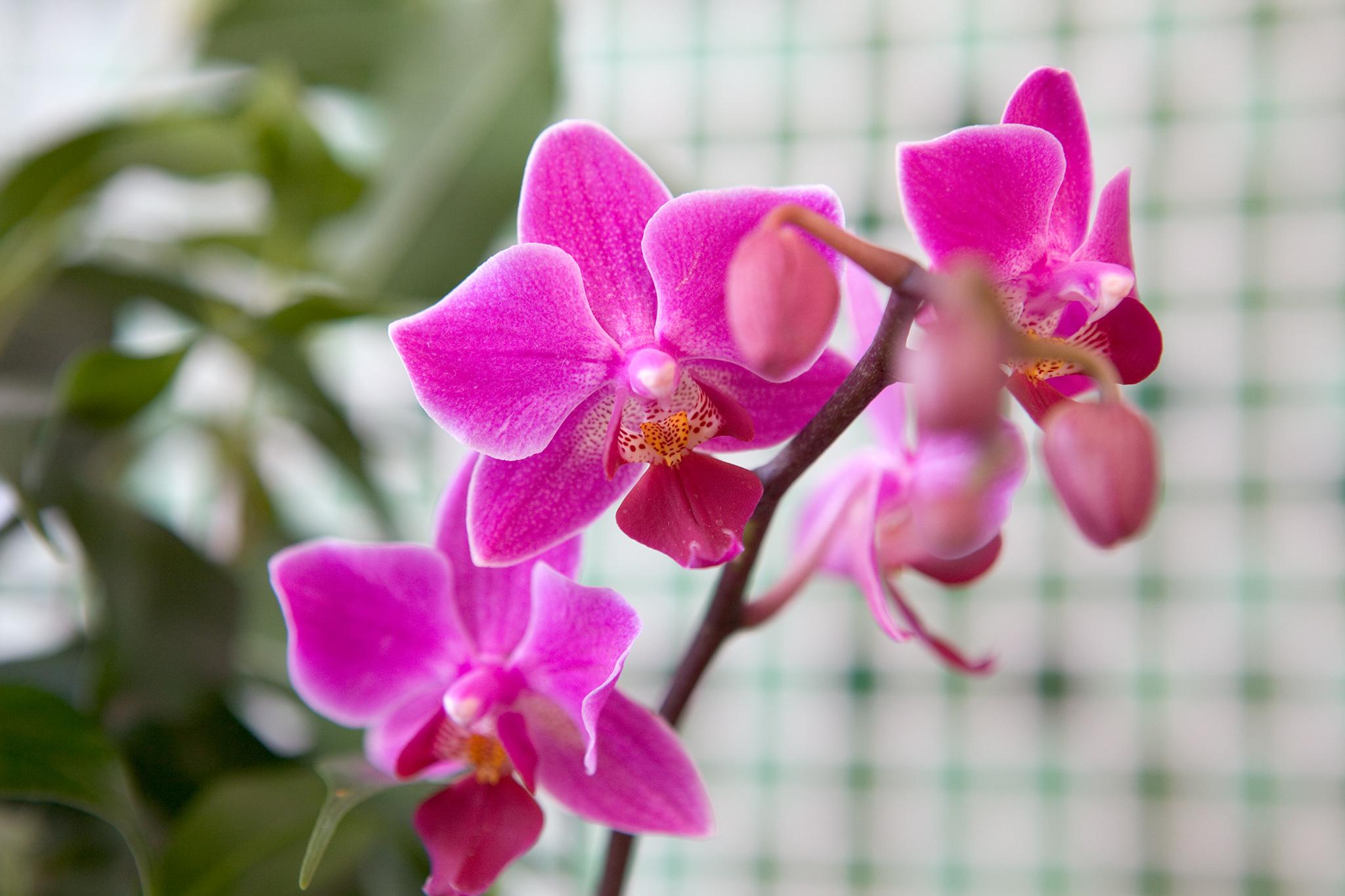 Phalaenopsis in flower
