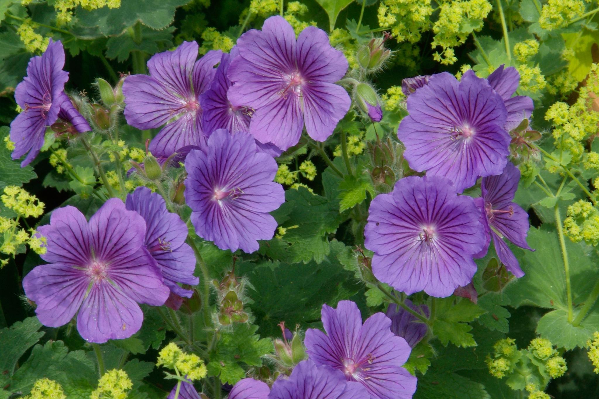 geranium-x-magnificum-2