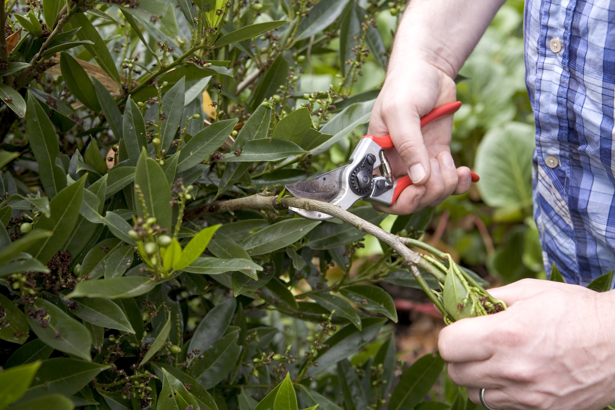 pruning-a-cherry-laurel-in-summer-2