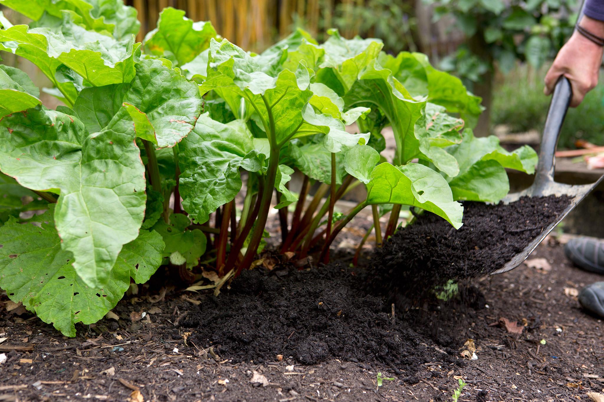 mulching-rhubarb-4