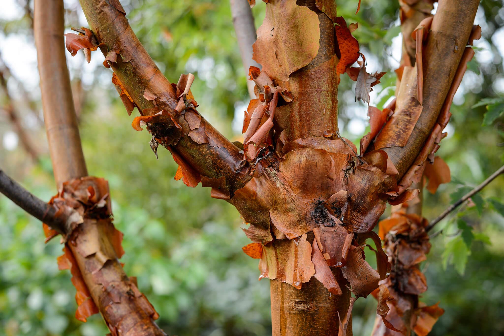 paper-bark-maple-acer-griseum-2