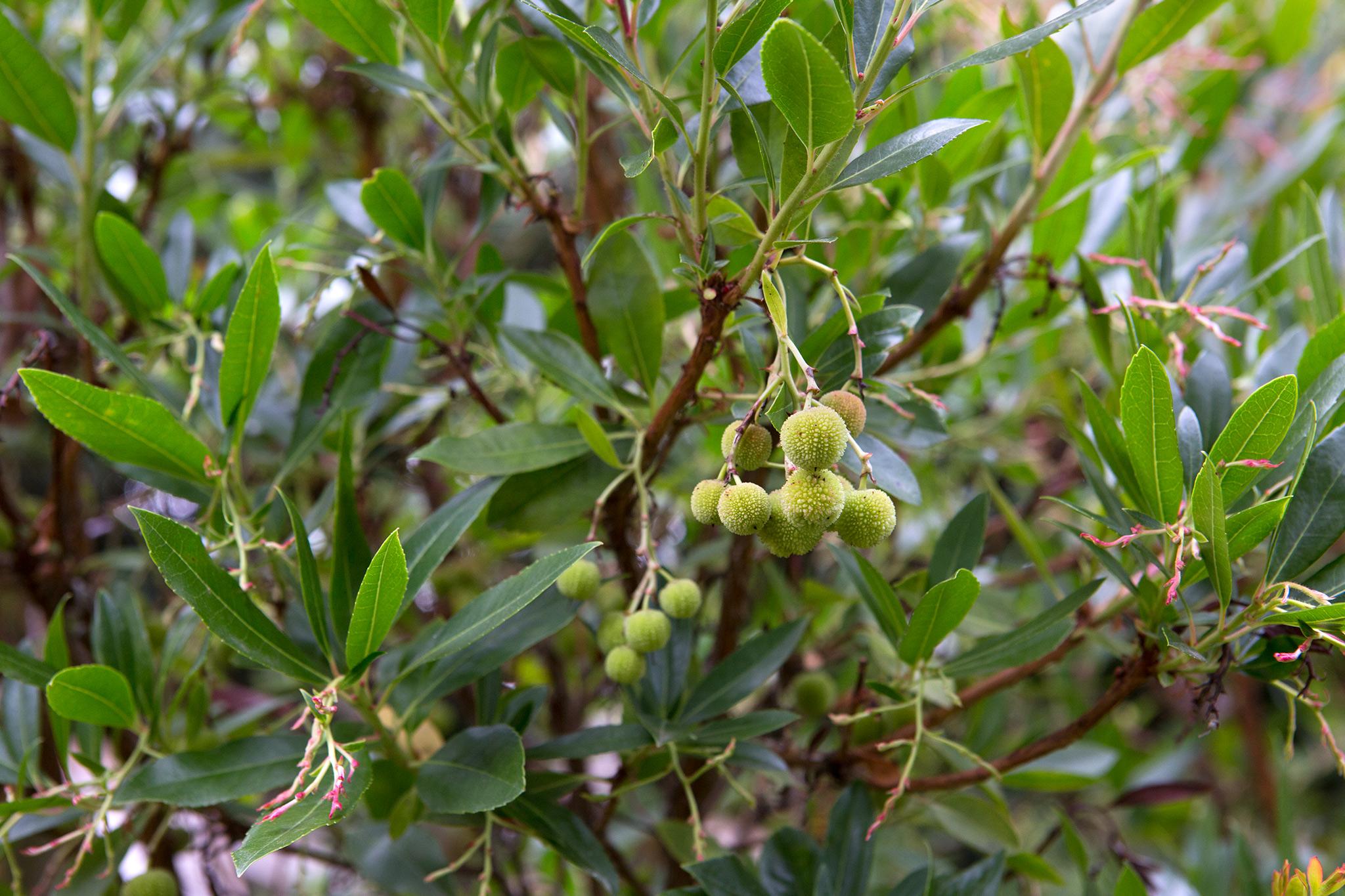 Strawberry tree Arbutus unedo