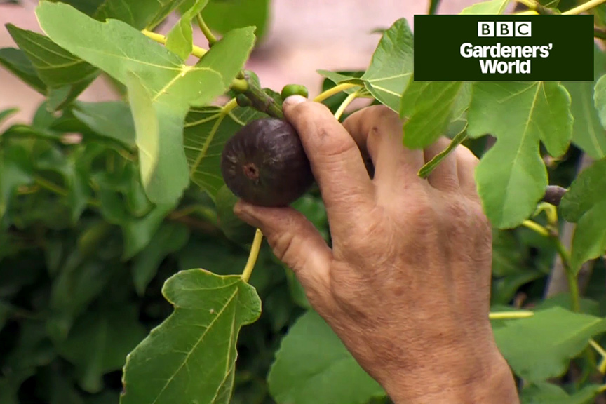 How to tell if a fig is ripe video