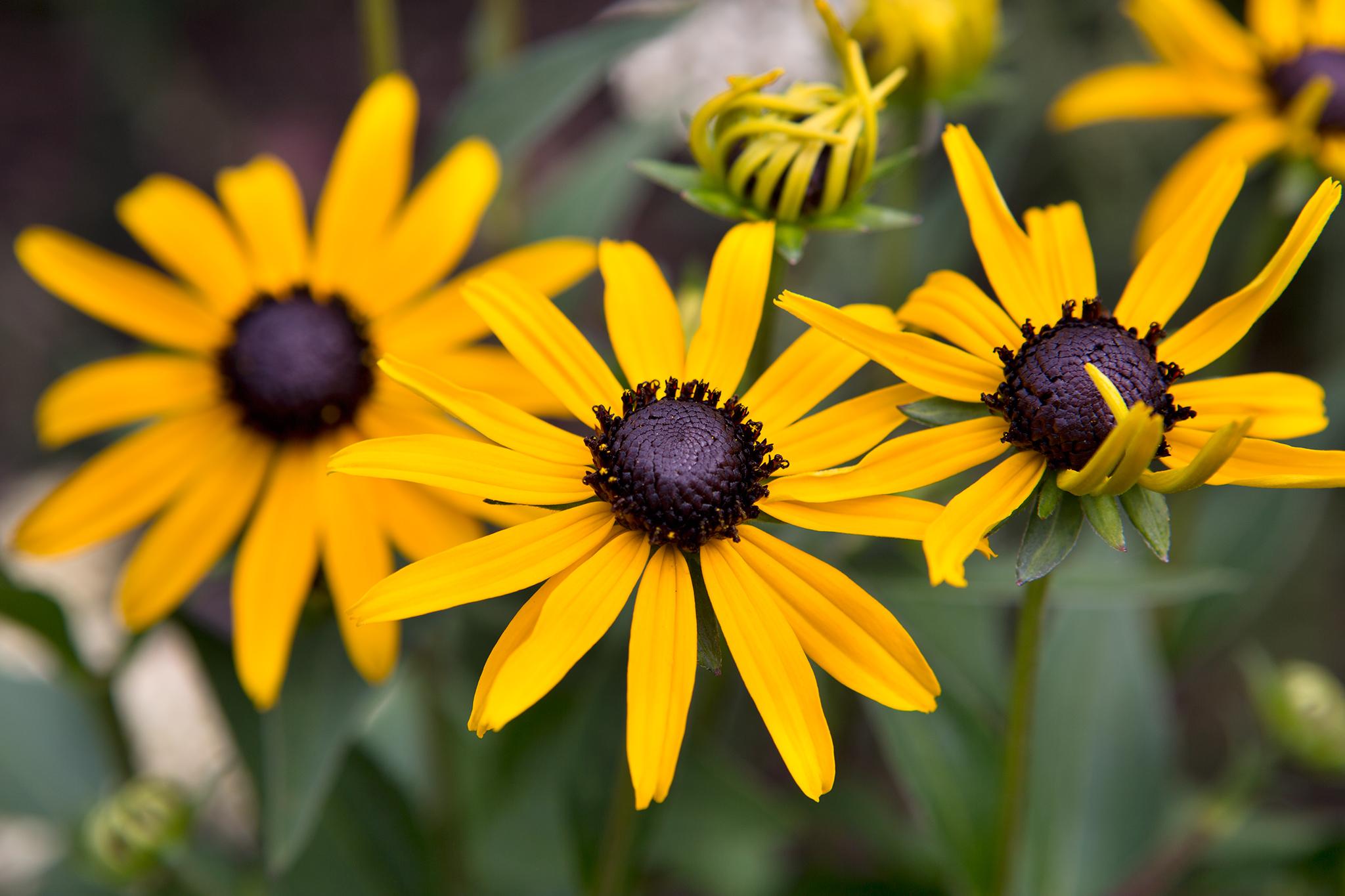 yellow-rudbeckias-2