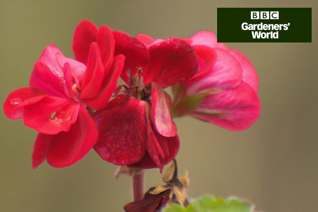 How to cut back pelargoniums video