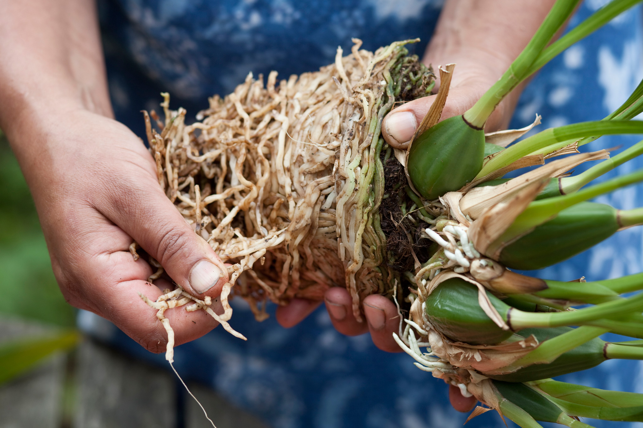 repotting-orchids-remove-any-dead-roots-2
