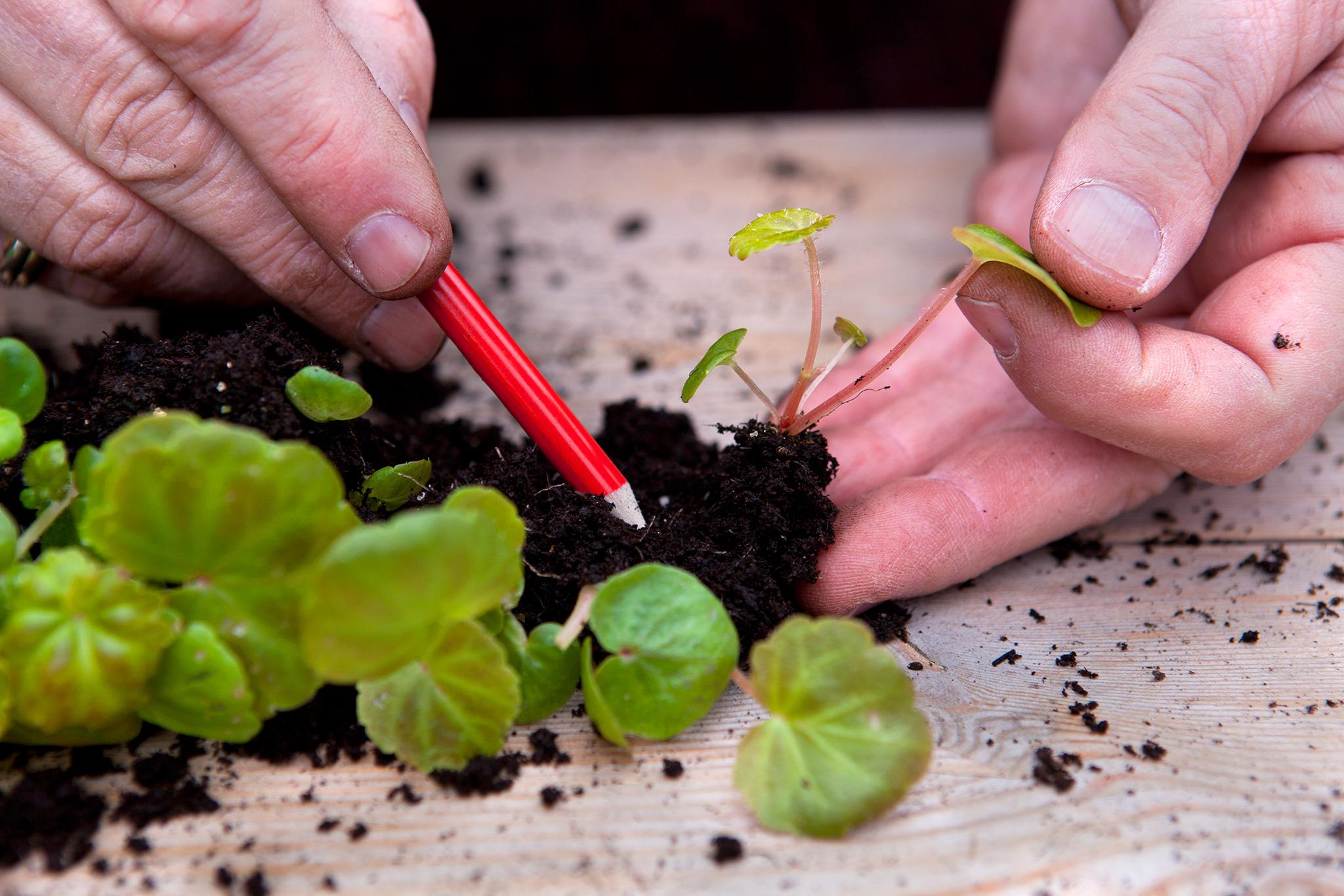 Как выращивать бегонии в домашних условиях