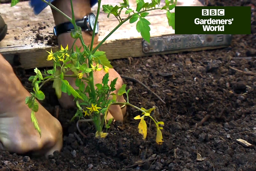 Monty Don's tomato trial (part three) video
