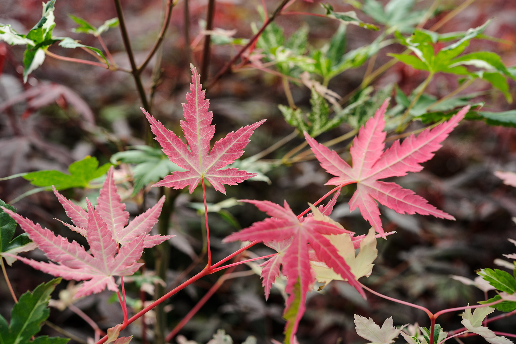 acer-palmatum-orido-nishiki-3