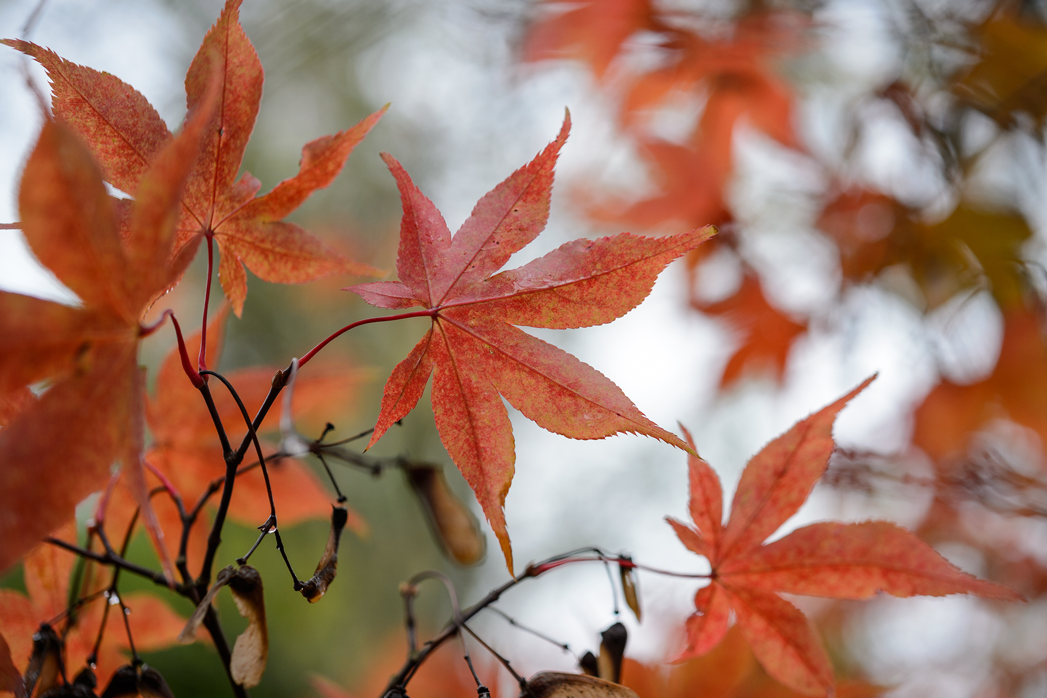 acer-palmatum-japanese-maple-2