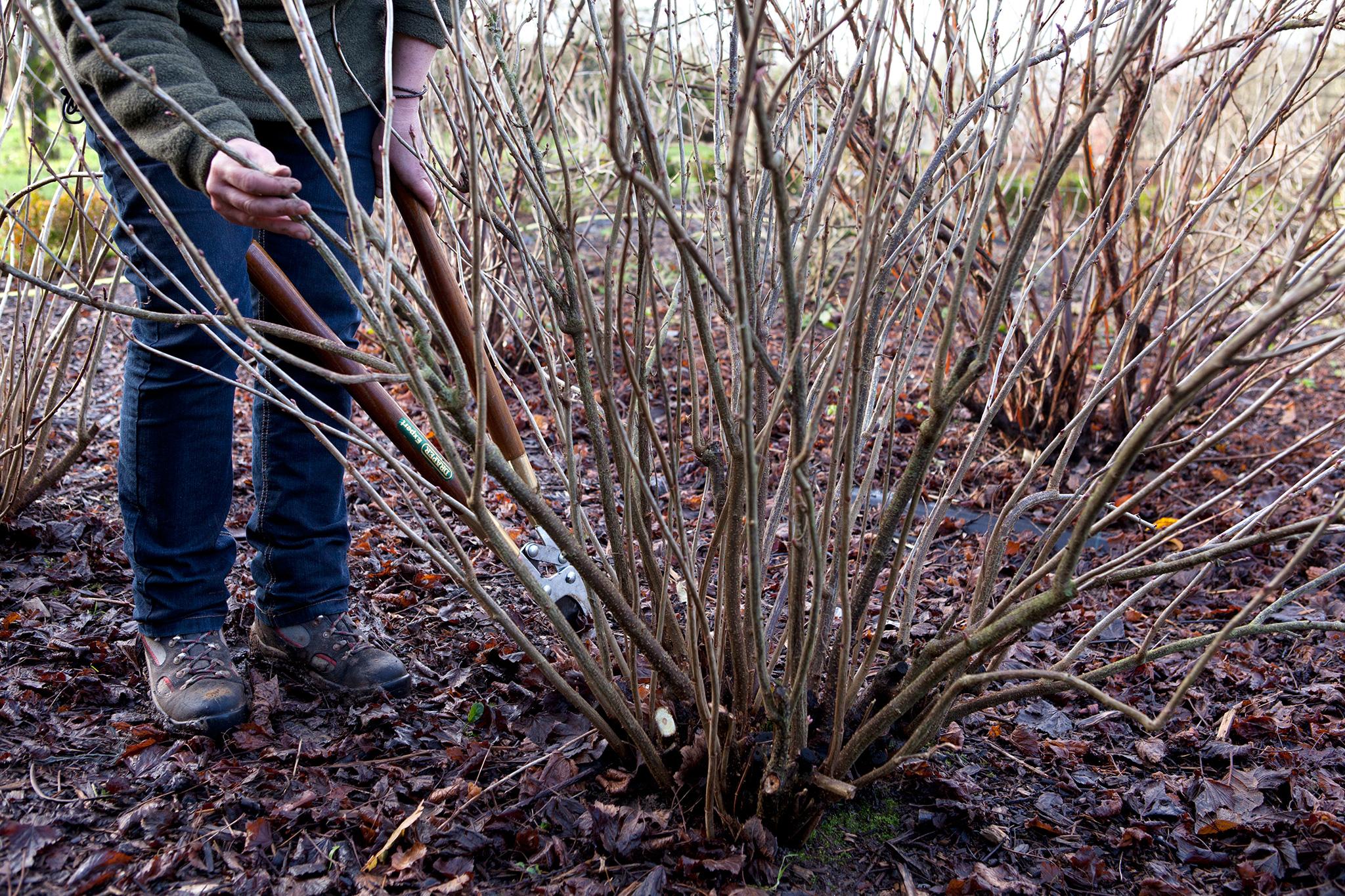 planting-blackcurrants-2
