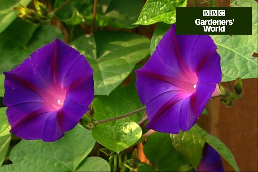 How to grow annual climbers in a pot video