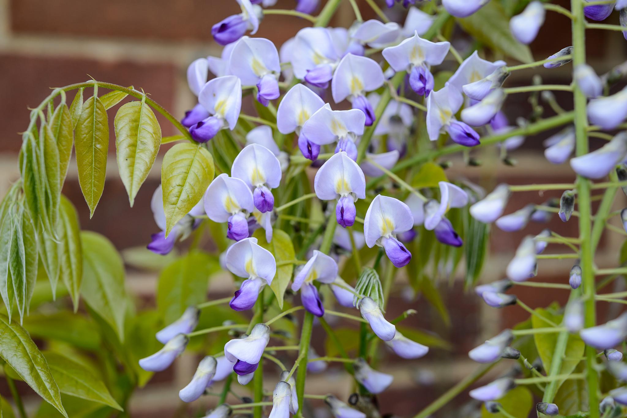 wisteria-14