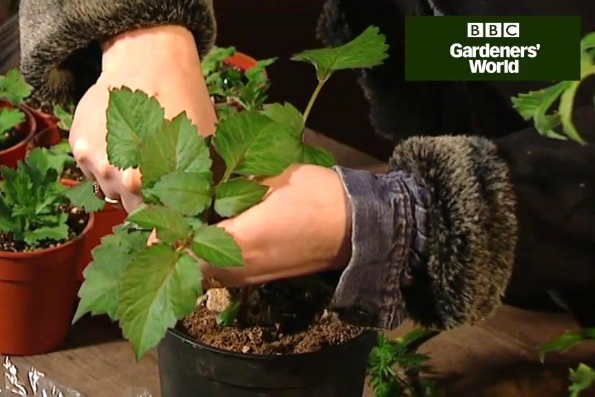 How to take dahlia cuttings video