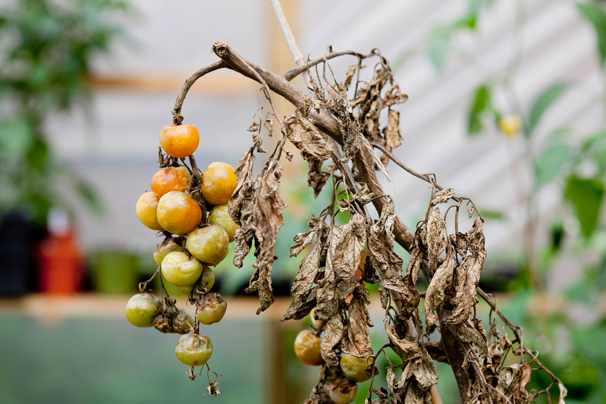 blighted-tomato-plant-3