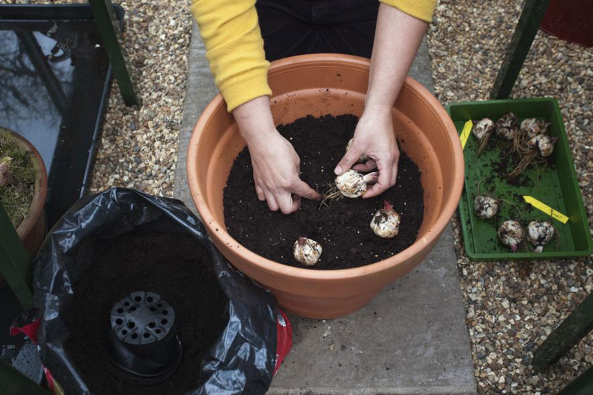 planting-tree-lily-bulbs