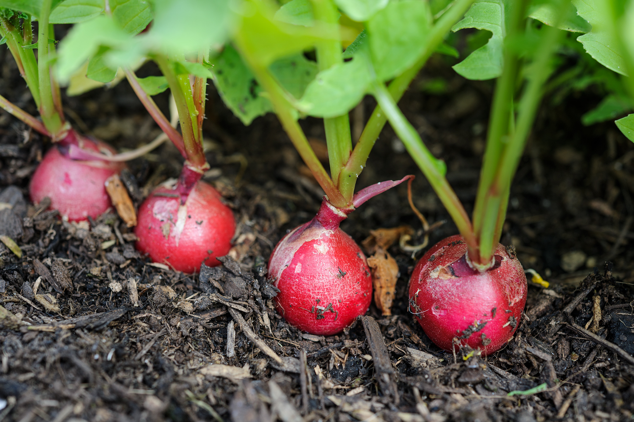 sowing-radish-in-september-2