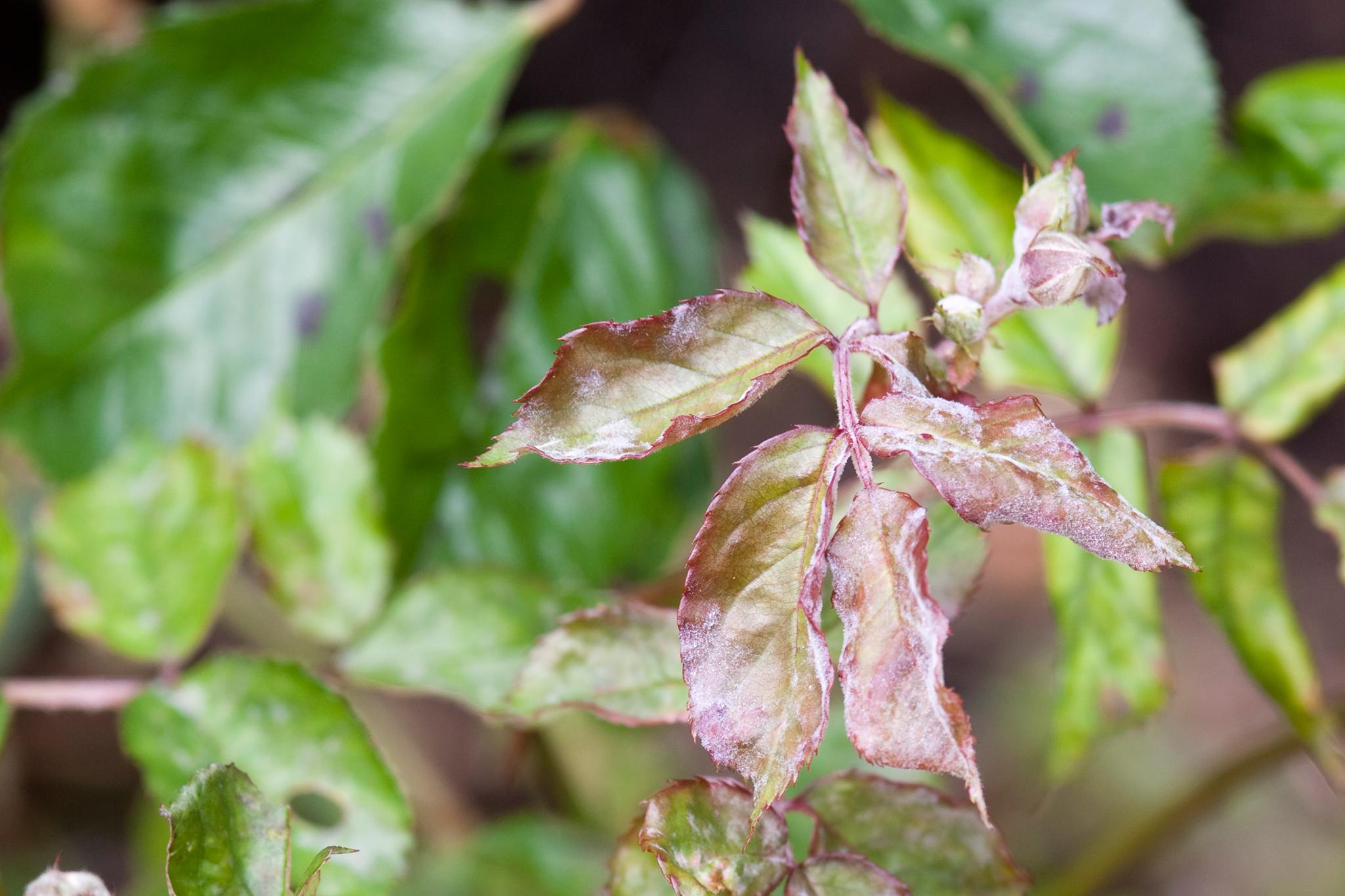 rose-powdery-mildew-2
