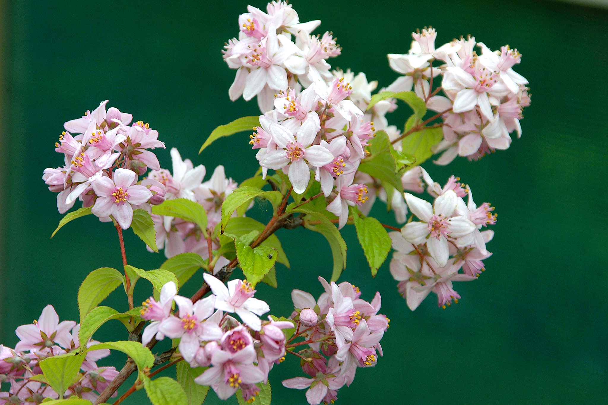 deutzia-mont-rose-2