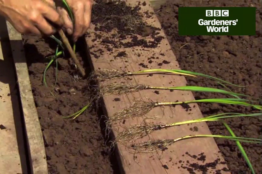 How to plant out young leeks video