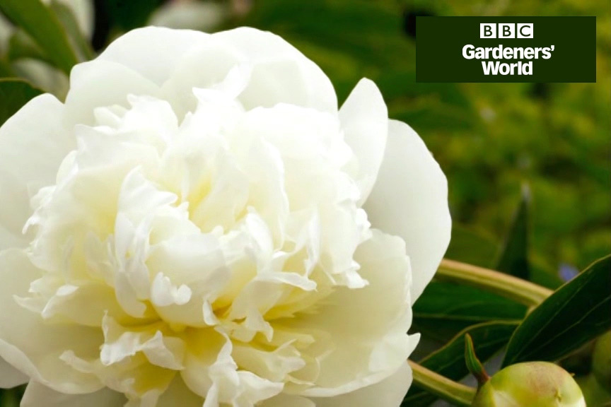 How to plant peonies video