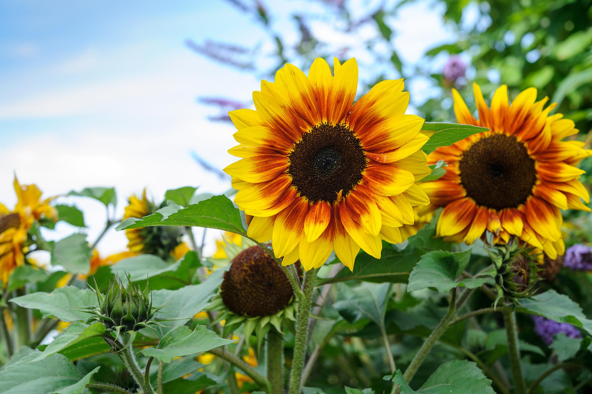 sunflower-helianthus-shock-o-lat-2