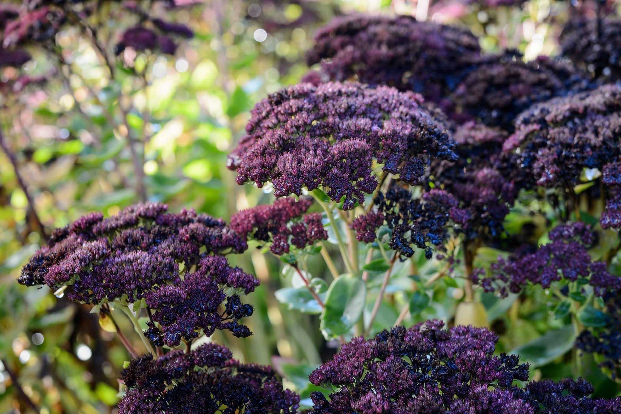 purple-sedums-in-bloom-2