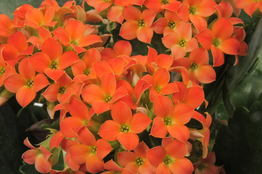 How should I care for my kalanchoe