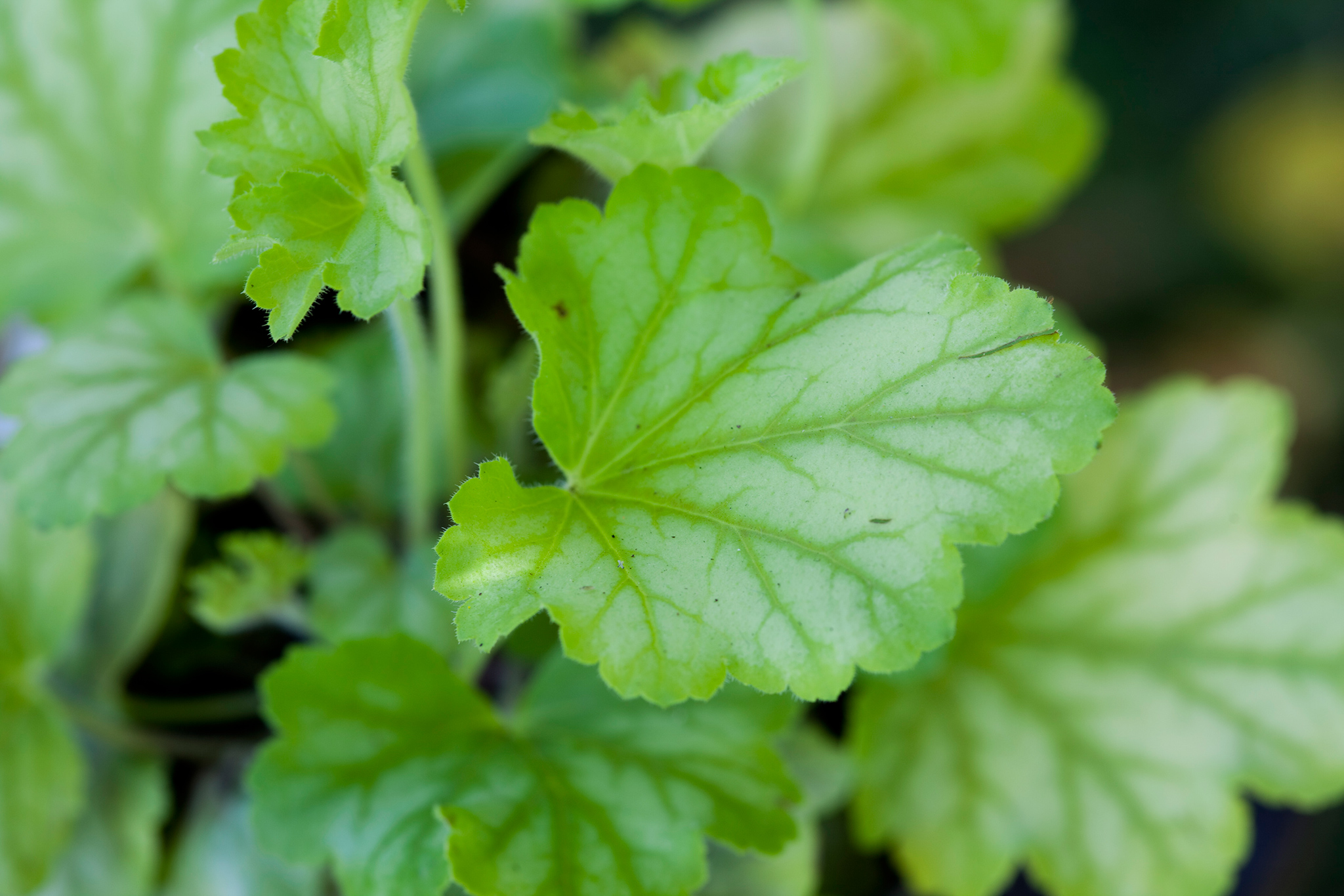heuchera-mint-julep-3