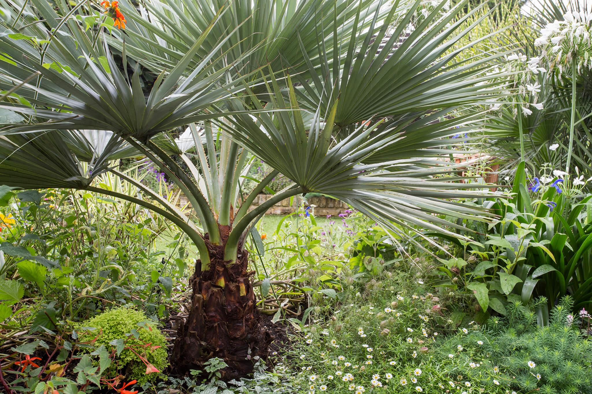 mexican-blue-palm-brahea-armata-3