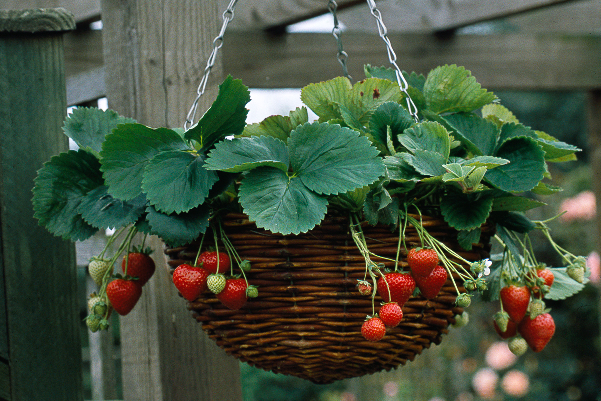 Plant a strawberry hanging basket gardenersworld strawberry hanging basket mightylinksfo