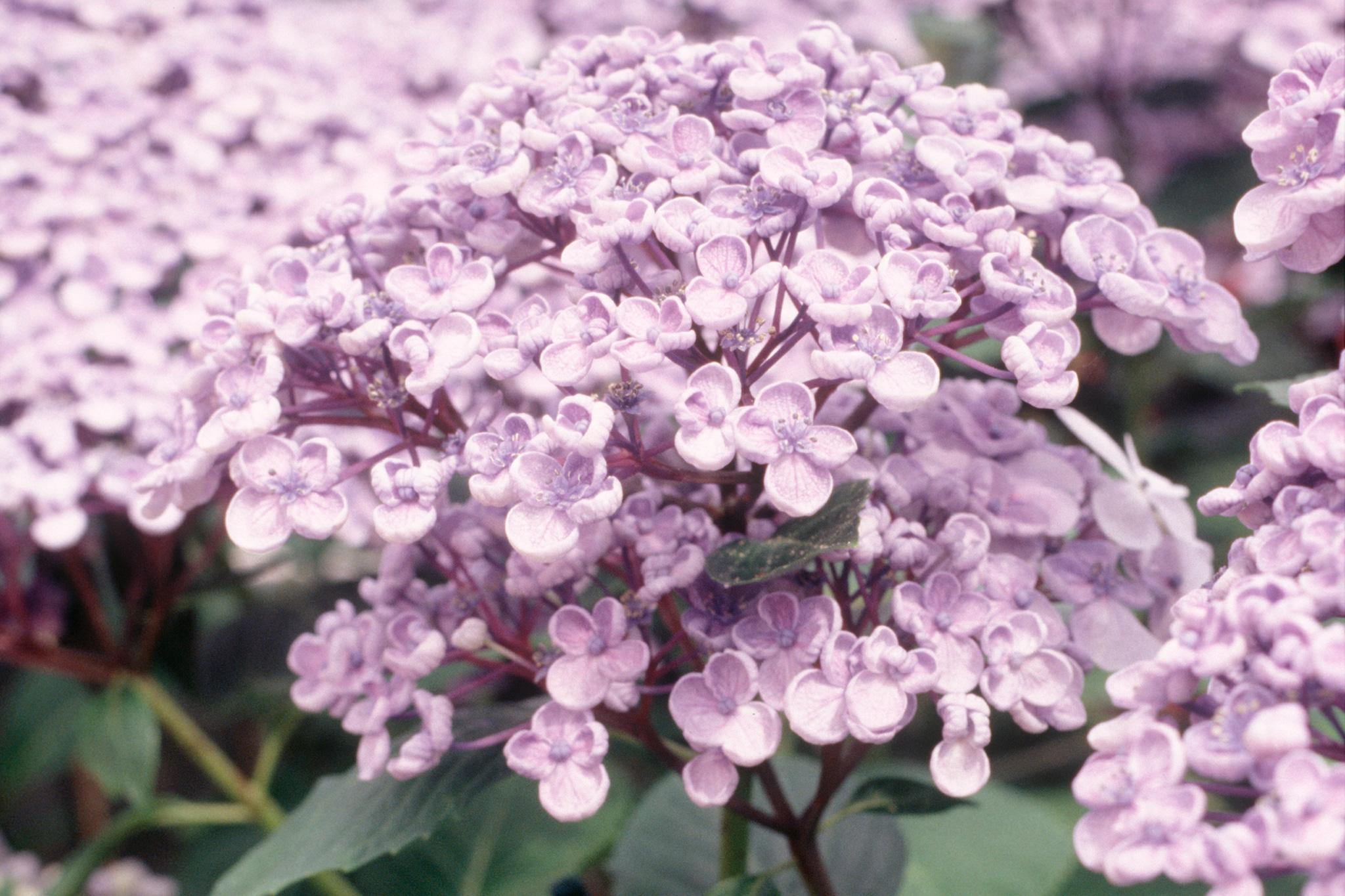 hydrangea-macrophylla-ayesha-2