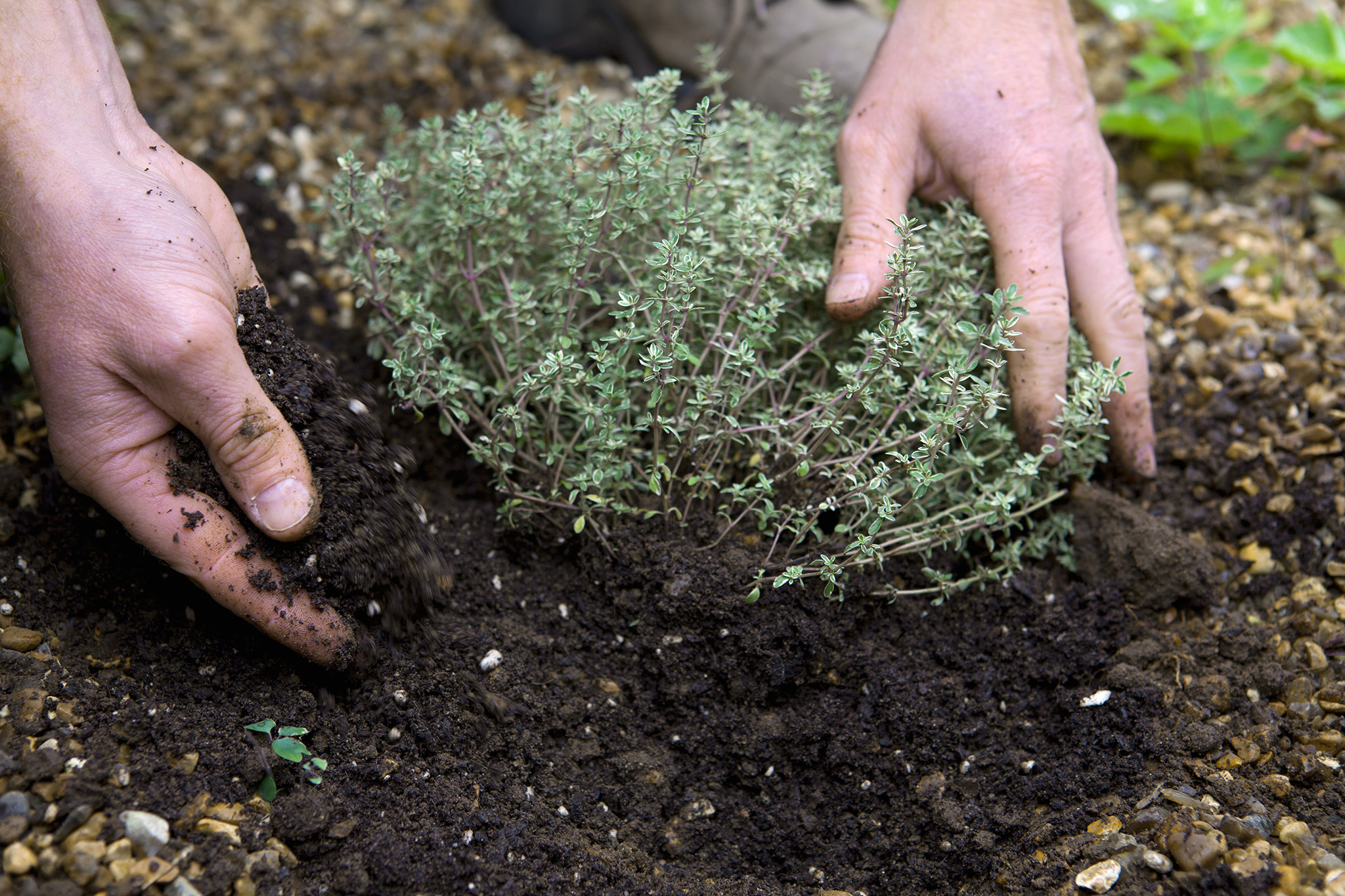 planting-thyme-2