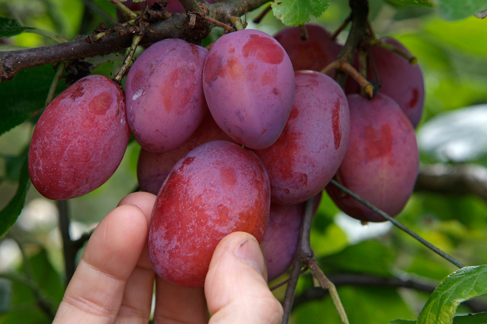 harvesting-plums-2