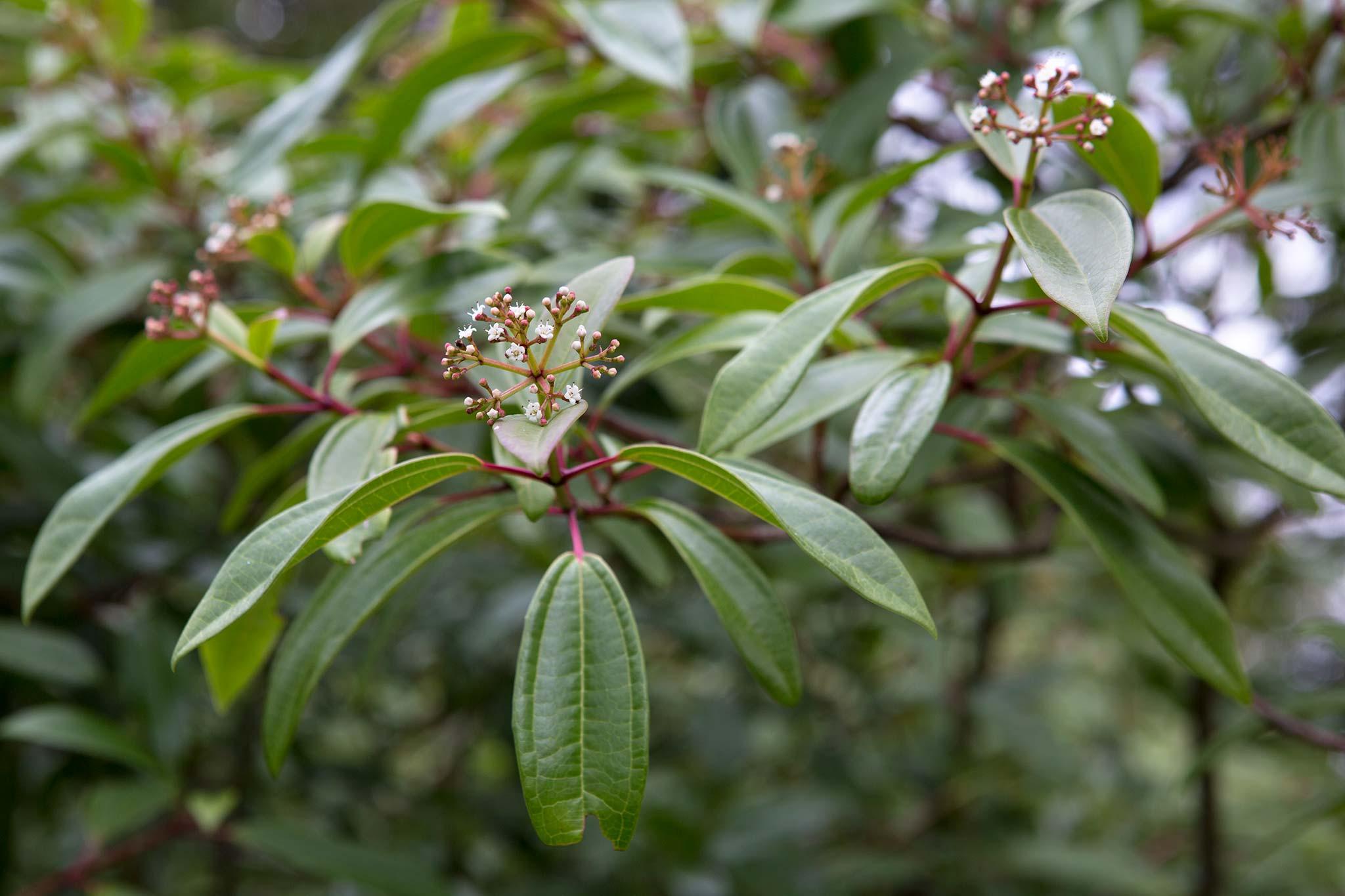 viburnum-davidii-angustifolium-2