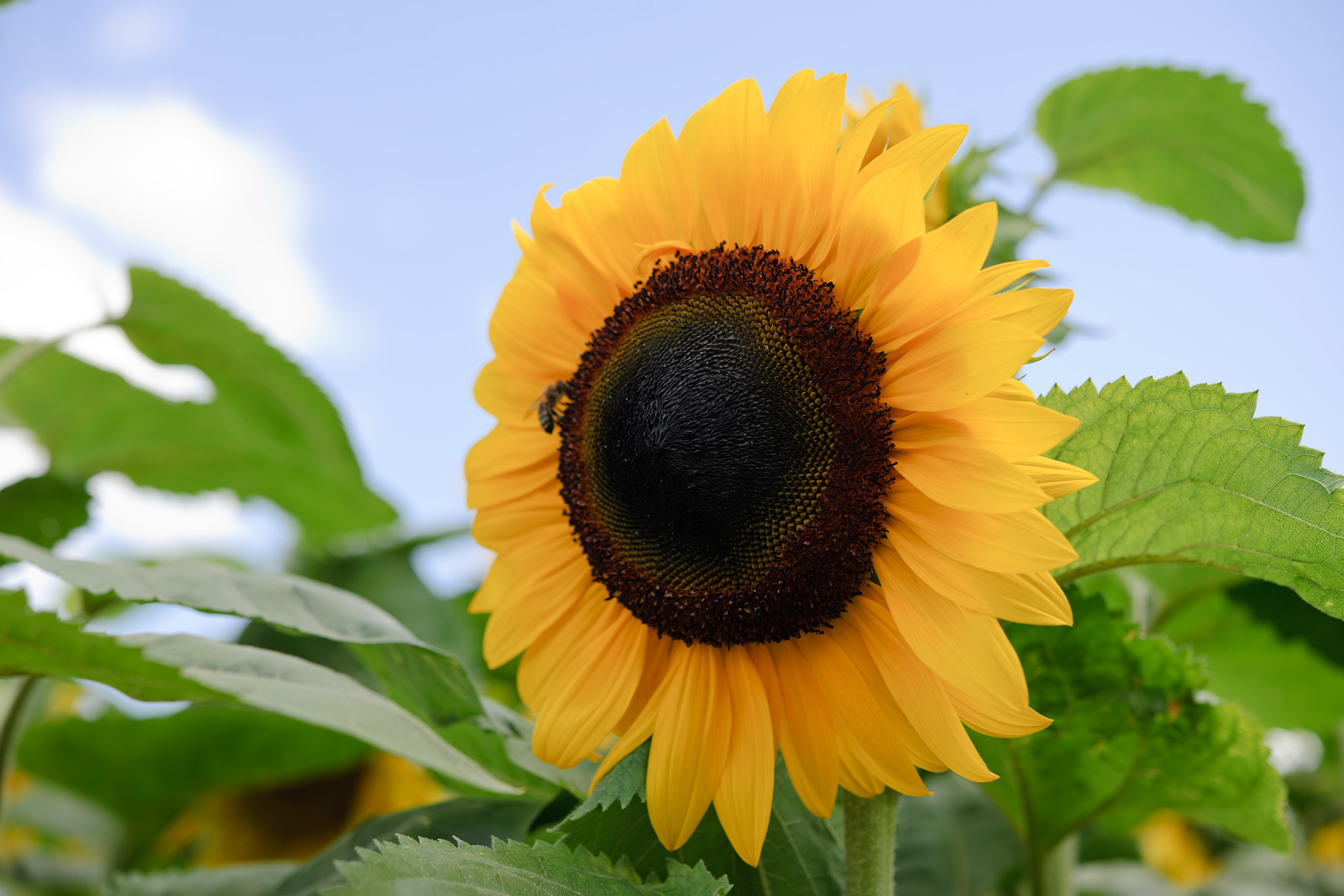 yellow-sunflower-2