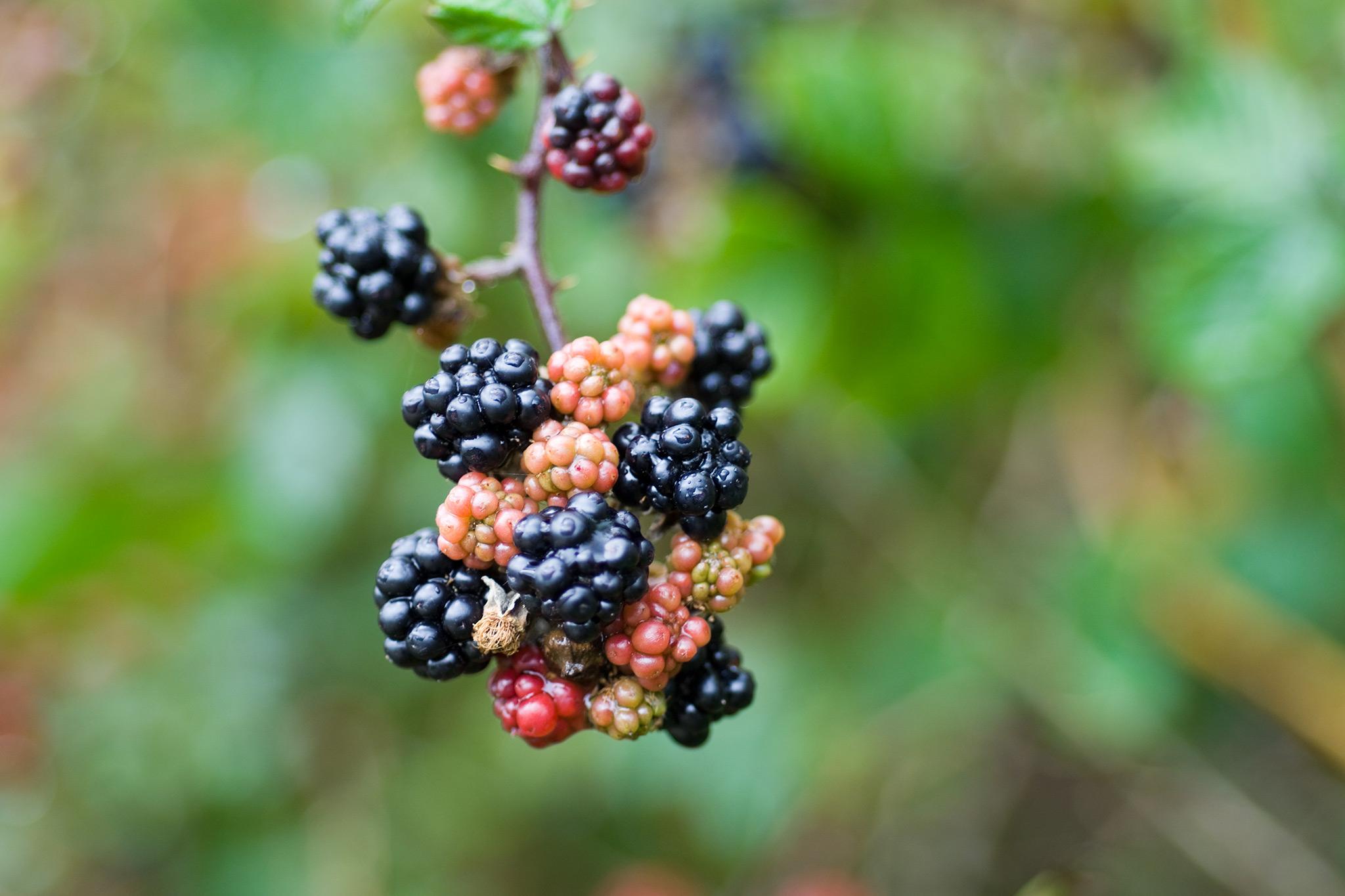 blackberries-11