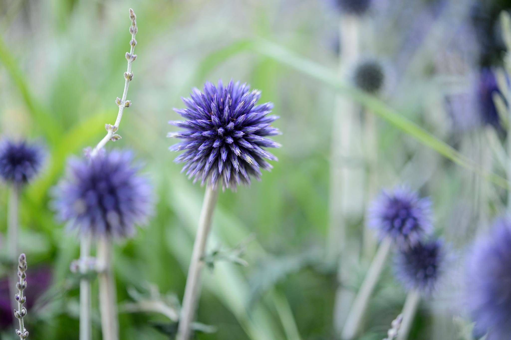 flowers-to-pick-in-august-globe-thistle-echinops-ritro-2