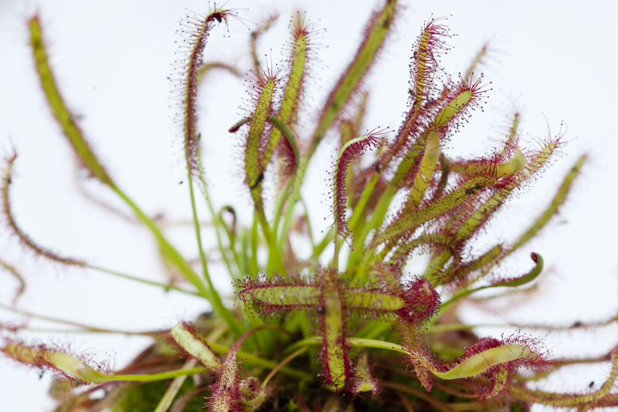 carnivorous-sundew-plant