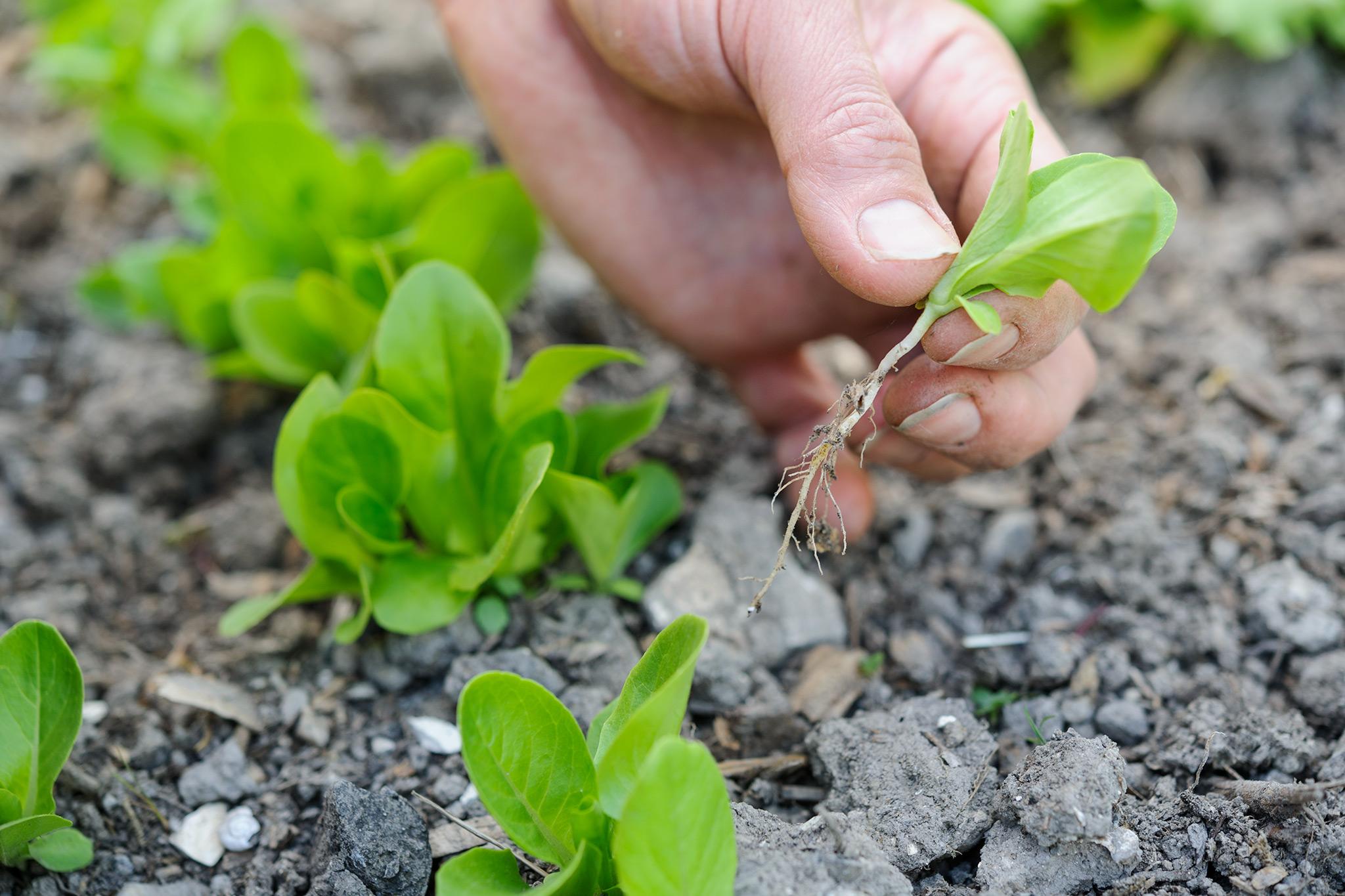 thinning-lettuce-seedlings-2