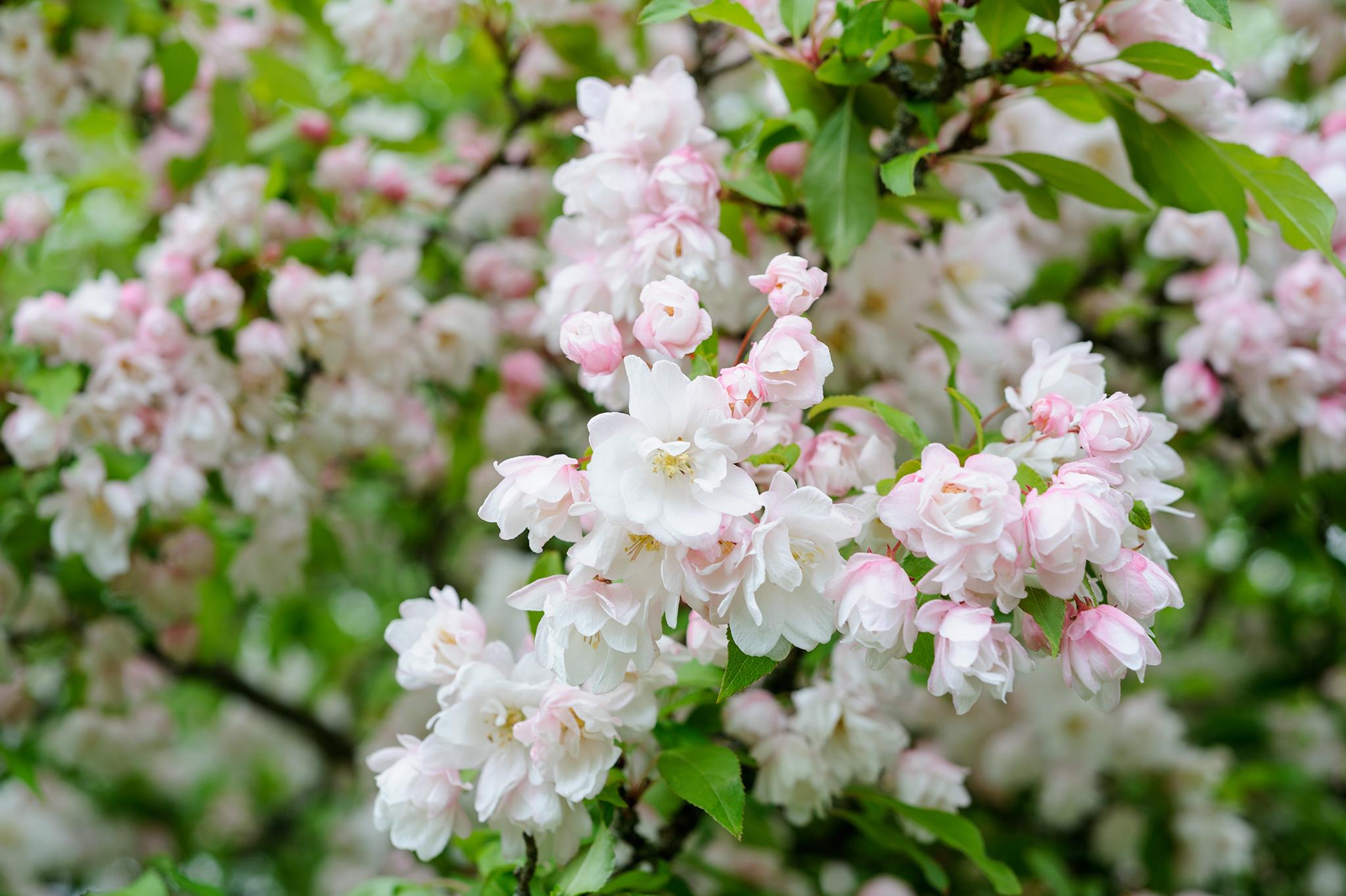 Blossom on apple tree