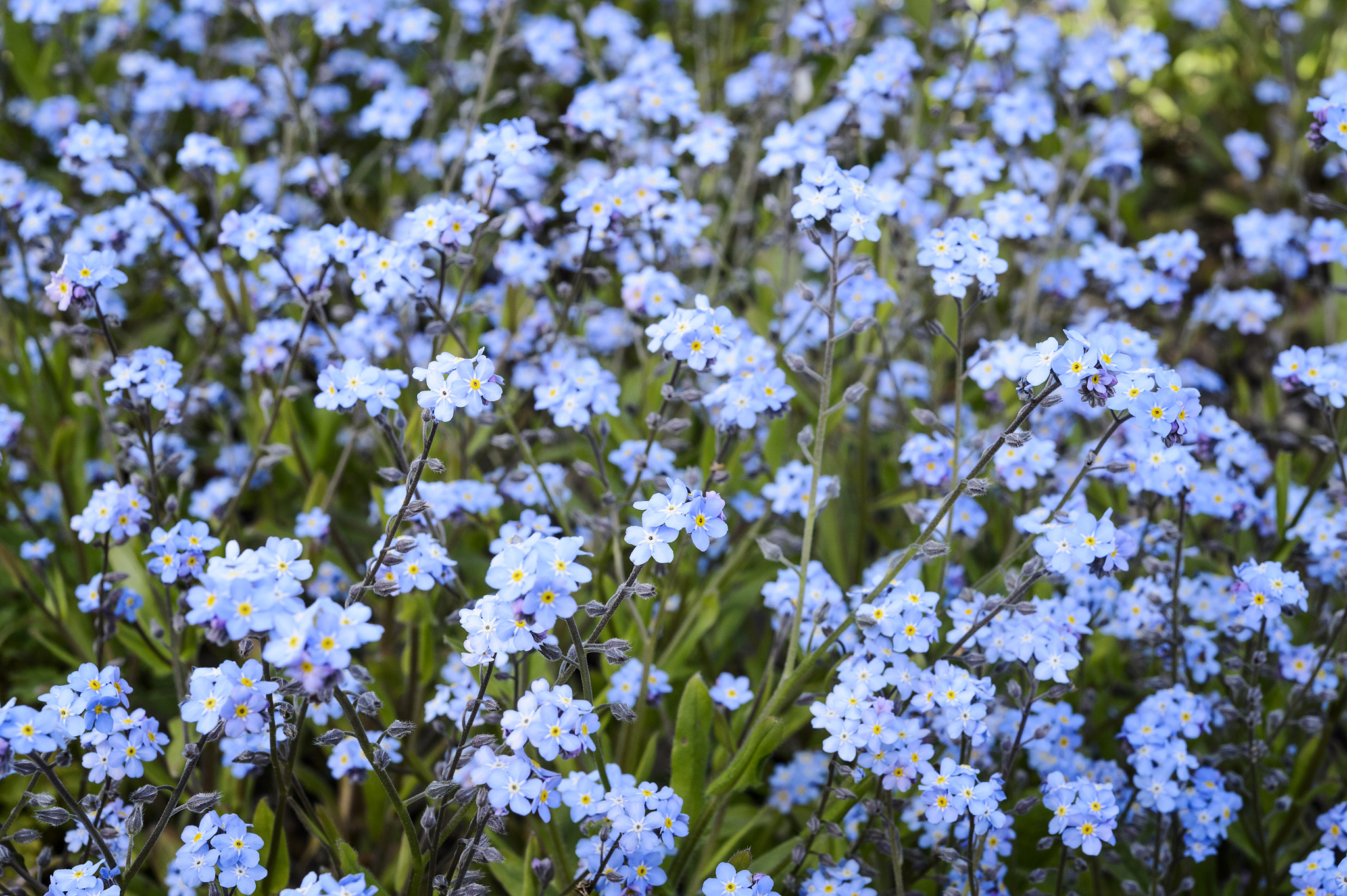 forget-me-nots-6